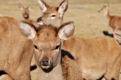 New Zealand red deer Stock Photos