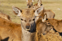 New Zealand red deer Royalty Free Stock Photo
