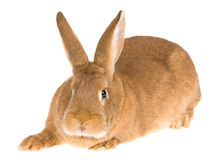 New Zealand Red domesticated rabbit, on white back. Front view of New Zealand Red domesticated rabbit, on white background stock photo