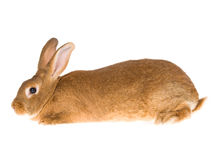 New Zealand Red domesticated rabbit, on white back Stock Photos