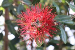 New Zealand red flower Stock Image