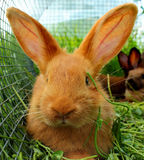 New Zealand red rabbits in a cage Stock Photo