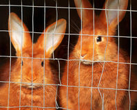New Zealand red rabbits in a cage Stock Images