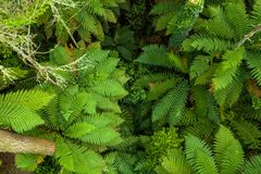 Top down view of ferns in New Zealand growing in Redwood forest, Rotorua. New Zealand redwood forest surrounding Rotorua, Ferns growing below canopy stock images