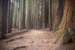 New Zealand Redwoods Stock Image
