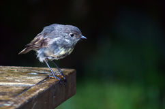 New Zealand Robin Stock Photography
