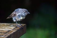 New Zealand Robin stock photography