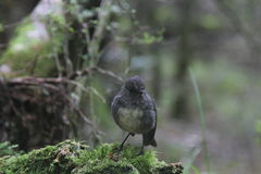New Zealand Robin Stock Image