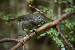 The New Zealand Robin Stock Images