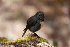 New Zealand Robin Royalty Free Stock Images