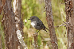 New Zealand Robin in the wilds royalty free stock images