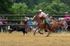 New Zealand Rodeo - Steer roping Stock Image