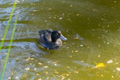 New Zealand scaup. Or black teal a small diving endemic duck stock photo