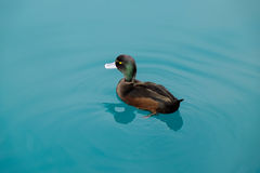 New Zealand scaup. The New Zealand scaup commonly known as a black teal, is a diving duck species of the genus Aythya. It is endemic to New Zealand. In Maori Stock Image
