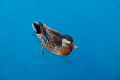 New Zealand scaup. The New Zealand scaup commonly known as a black teal, is a diving duck species of the genus Aythya. It is endemic to New Zealand. In Maori Royalty Free Stock Images