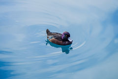 New Zealand scaup. The New Zealand scaup commonly known as a black teal, is a diving duck species of the genus Aythya. It is endemic to New Zealand. In Maori Stock Photos