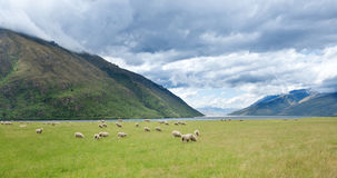 New Zealand Scenic Sheep Lake Stock Photography