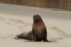 New Zealand sea lion royalty free stock images
