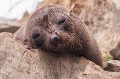 New Zealand sea lion Royalty Free Stock Photos