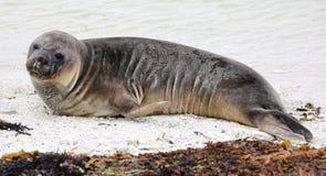 New Zealand Sea Lion (New Zealand)