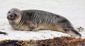 New Zealand sea lion (New Zealand) royalty free stock photo