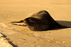 New Zealand Sea Lion, Phocarctos Hooker, stretches on the sandy beach, South Island New Zealand Stock Images
