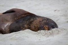 New Zealand Sea Lion Stock Photography