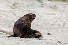 New Zealand Sea Lion Royalty Free Stock Photo