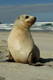 New Zealand Sea Lion Pup Stock Image