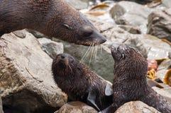New Zealand sea lion Stock Photo