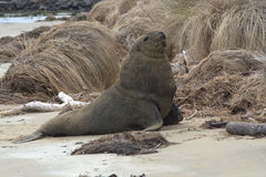 New Zealand sea lions 3 Royalty Free Stock Images