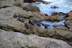 Curious New Zealand sea lions royalty free stock photo