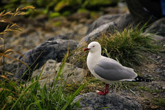 New Zealand Seagull Royalty Free Stock Image
