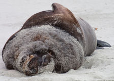 New Zealand Sealion Stock Images