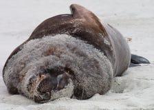 New Zealand Sealion. (Hooker's sealion) sleeping on beach Stock Images