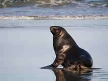 New Zealand Sealion Royalty Free Stock Images