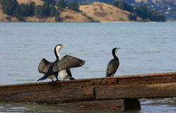 New Zealand Shag Royalty Free Stock Photos