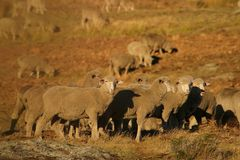 New Zealand sheep. Sheep in sunset on New Zealand pasture Stock Images