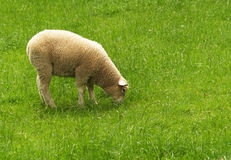 New Zealand sheep Royalty Free Stock Image