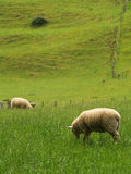 New Zealand sheep Stock Image