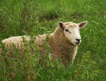 New Zealand sheep Stock Photography