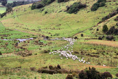 New Zealand sheep Royalty Free Stock Photo