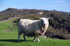 New Zealand Sheep Stock Images