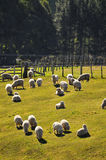 New Zealand Sheep. Sheep from NZ grazing on open pastures Royalty Free Stock Photos