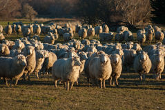 New Zealand sheep Royalty Free Stock Photography