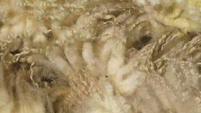 New Zealand wool close up panning shot. New Zealand sheep close up of wool stock video