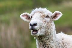 New Zealand Sheep Royalty Free Stock Photo