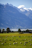 New Zealand sheep farm Stock Image