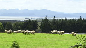 New Zealand sheep on field. New Zealand sheep with mountains in background stock footage
