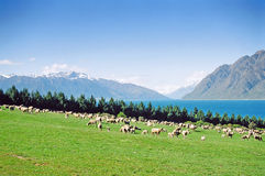 New Zealand Sheep Grazing Stock Photography